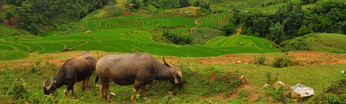 Buffalo in Vietnam, photo by Rowena Sace Johnson