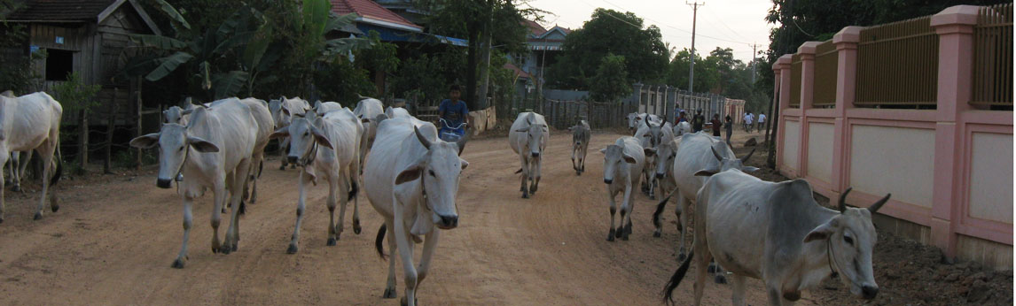 Cattle in Cambodia, photo by Megan Ko